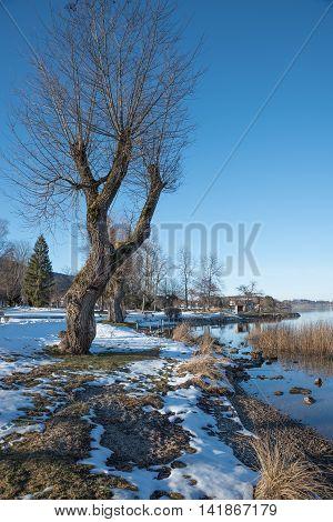 Bare Faced Pollard Willow At Lake Shore Tegernsee