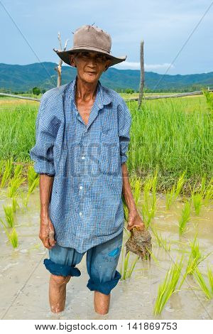 Chiang Mai Thailand - Jun 30 2016 Old farmer planting rice in rice field near Chiang Mai Thailand
