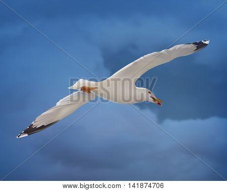 White seagull on blue sky. Bottom view. Vector