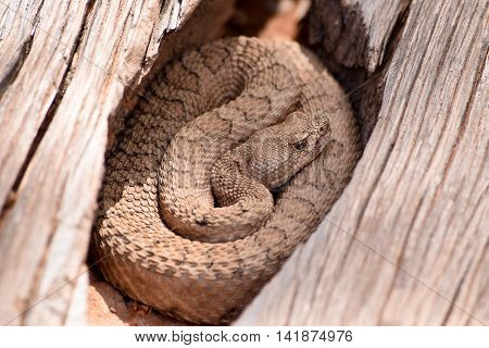Midget Faded Rattlesnake in the wilds Colorado