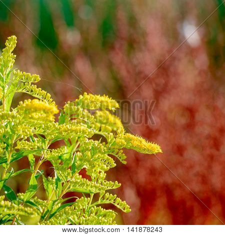 Closeup of yellow blooming Goldenrod or Solidago plants against red colored natural background in a natrue reserve. In naturopathy the plant is considered medicinal.