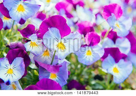 Flowers of purple-blue pansy. Garden ornamental plants