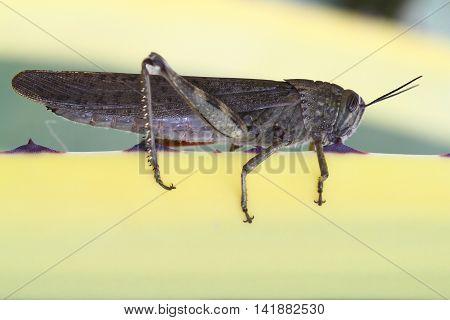 Egyptian locust grasshopper Anacridium aegyptium is resting on yellow plant