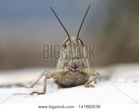 Portrait of Egyptian locust grasshopper pest Anacridium aegyptium