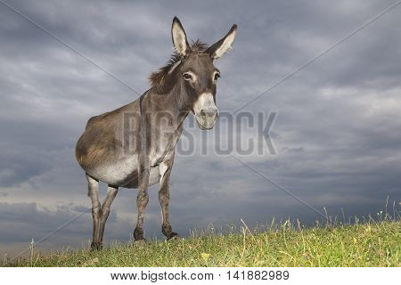 Wild gray Donkey on the meadow on overcast day