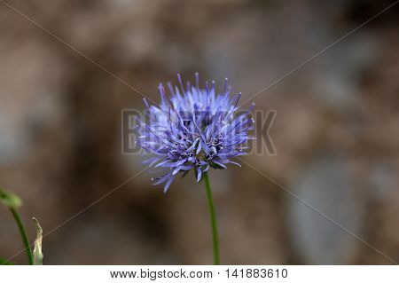 Flower of a Sheep bit scabious (Jasione montana)