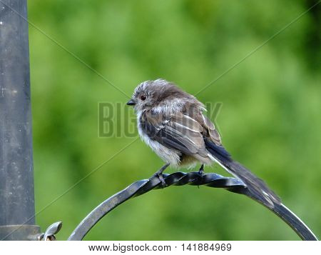 Long tailed tit perched on feeding station hook