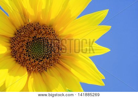 Sunflower and the blue sky