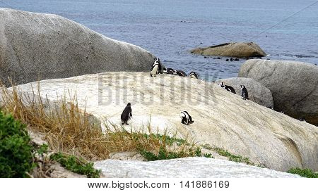 colony of South African black-footed penguins at the Boulders Beach in Simon's Town on the False Bay, animals on the granite rocks on the Atlantic