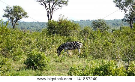 An individual zebra in the Kruger National Park in South Africa