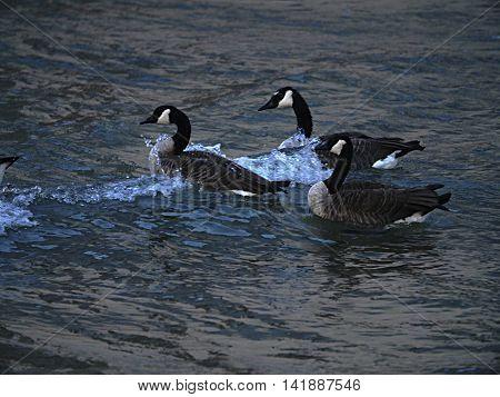Geese navigating medium waves on Lake Michigan.