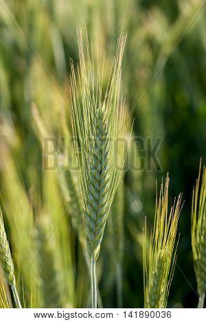 Single Green Wheat Spikelet In Sunlight