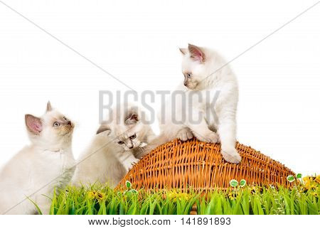 Portrait of three British Shorthair Kittens sitting, 8 weeks old, color point color.