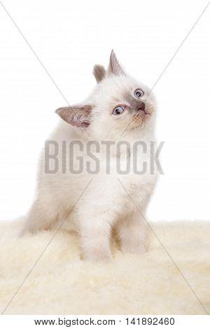 Portrait of British Shorthair Kitten sitting, 8 weeks old, color point color.