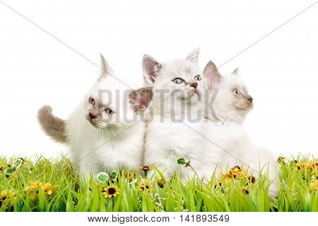 Portrait of three British Shorthair Kittens sitting in the grass, 8 weeks old, color point color.