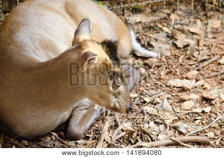 Fea Muntjac Is Deer