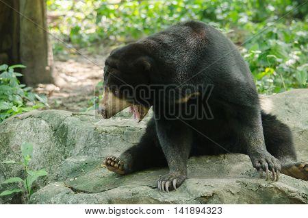 Malayun Sun Bear