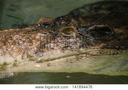 crocodiles are large aquatic reptiles that live throughout the tropics .order Crocodilia which includes Tomistoma the alligators and caimans the gharials and all other living and fossil Crocodylomorpha.