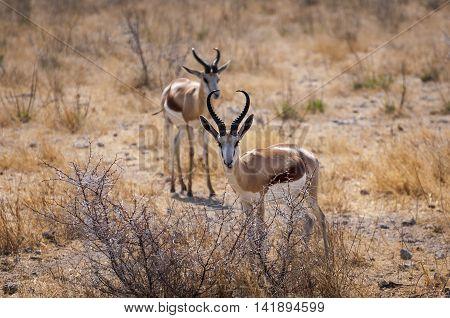 Two springbok in the Etosha National Park Namibia