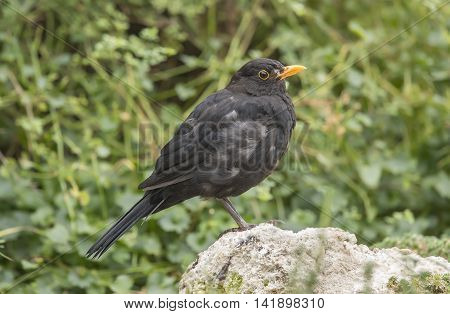 Blackbird Perched On A Rock, Close Up