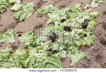 rot green lettuce leaves abandoned polluted field