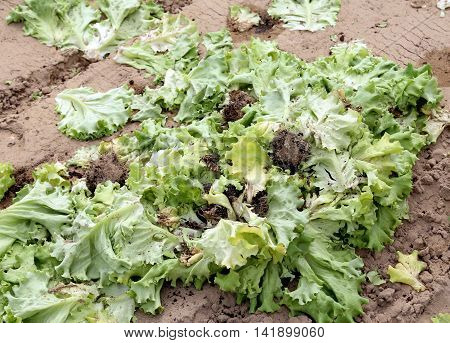 Rot Lattuce Leaves Abandoned Field