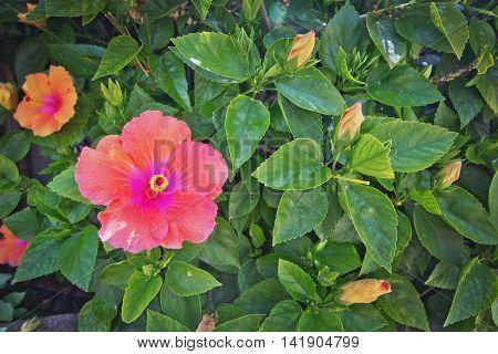 Pink Orange Hibiscus Flowers