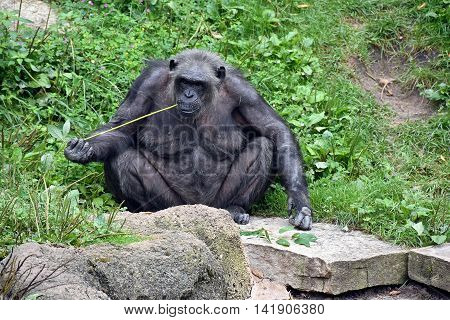 Chimpanzee sitting on a rock eating a grassy reed.