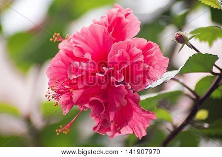 Hibiscus flower, pink hibiscus flower blooming on blurred nature background
