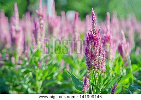 Purple Pink Celosia Flower Blooms In Decorated Garden