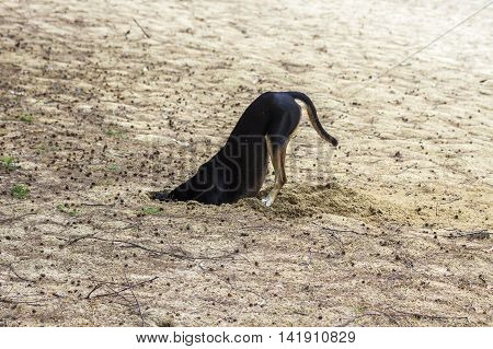 black dog digging in sand on the beach