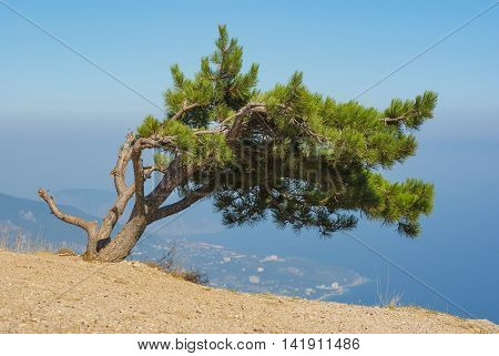 Landscape with lonely pine-tree growing on the edge of precipice in Crimean mountains over Yalta city