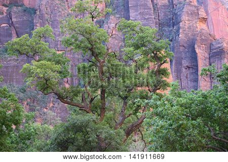 Big green tree with giant red and grey cliffs, in the background, mid-morning, Zion National Park