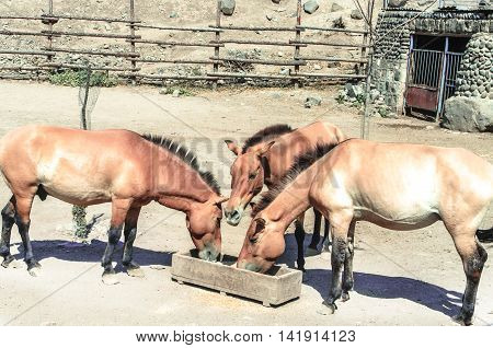 Wild breed golden brown horse,eat from a wooden trough in the open corral