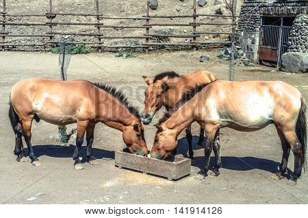 The open corral with golden brown horse,who chew dry food  from a wooden trough