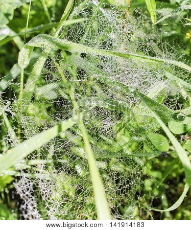 Morning dew on a spider web. Spider web in the morning dew on the grass.