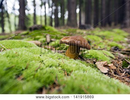 An edible mushroom growing in the wild