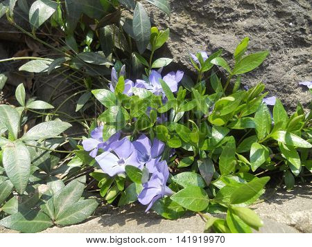 periwinkle blue flowers on a background of green leaves of spring