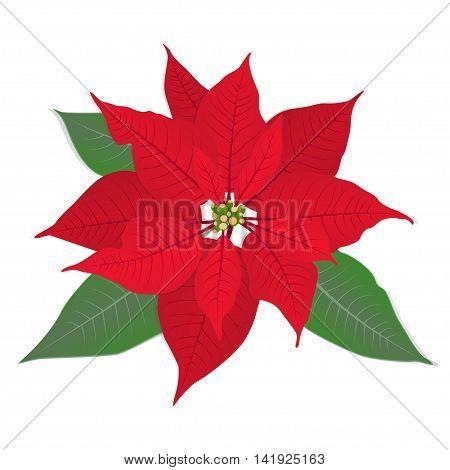 Red Christmas flower poinsettia on white. Vector eps 10.