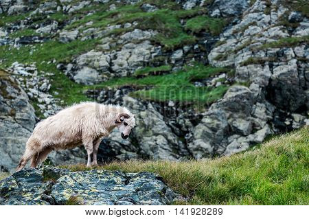 White ram standing on the rocks .