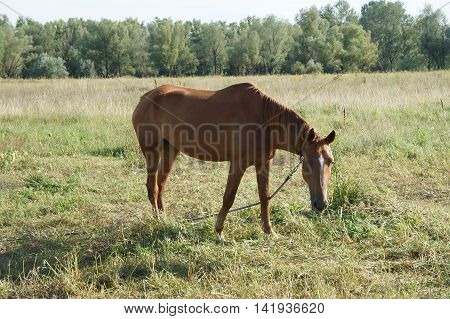 Bay horse with a white spot on his forehead grazing in a meadow.