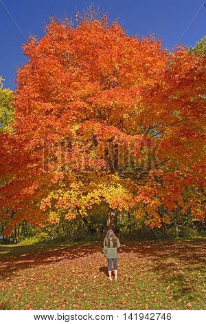 Looking at a Sugar Maple in Fall Colors in Backbone State Park in Iowa
