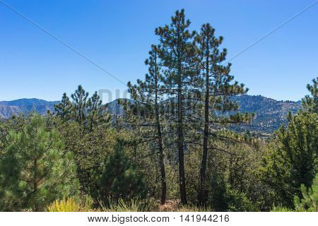 Three Pine Trees In California
