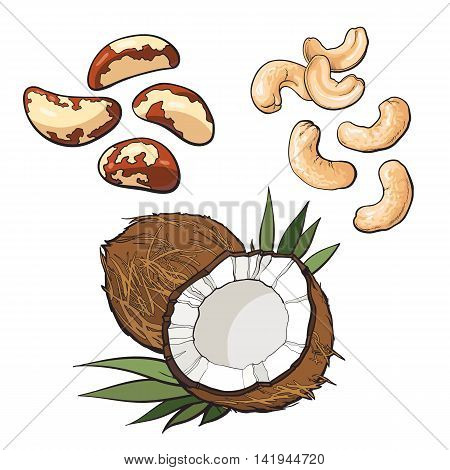 Collection of cashew, coconut and brazil nuts vector illustration isolated on white background. Set of fresh and ripe seasonal Brazil nut, cashew and coconut, whole and open