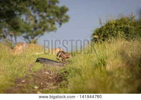Brown Hare chasing in grass at high speed (Lepus europaeus)