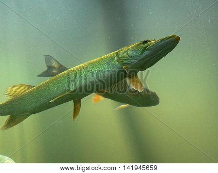Freshwater predatory fish pike, floating in an aquarium, Underwater World