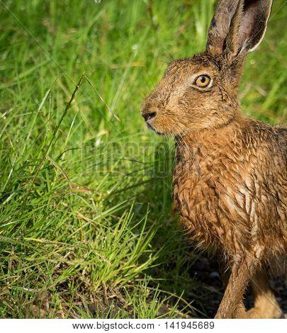 Brown Hare on path in grass wet from bathing in puddle (Lepus europaeus)