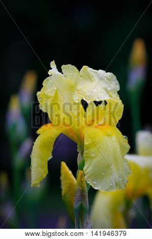 Decorative Iris in the park after rain.