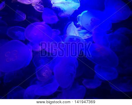 Colorful jellyfish in a fish tank with black light