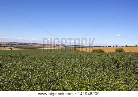 field beans with summer scenery in the yorkshire wolds under a blue sky